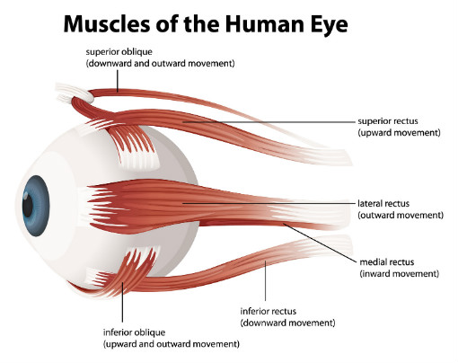 Muscles of the human eye