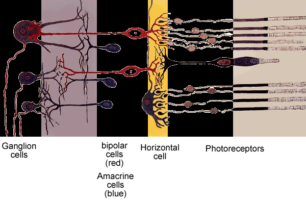 Structure of the retina - schematic